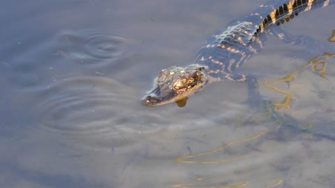 baby American alligator in the water