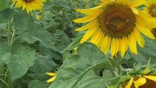 Sunflower Farm in Oahu, Hawaii