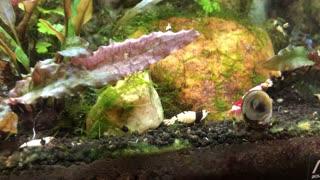 Aquarium crystal shrimp