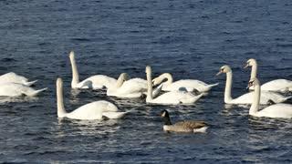 Swan | Duck | Water | Nature