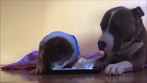 This Attention-Seeking Adorable Dog Is Jealous Of The iPad