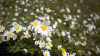 White daisy flower field in the meadow