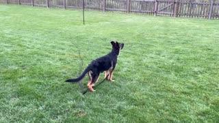 Tirzah the German Shepherd