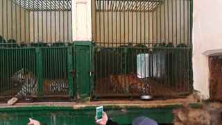 Tigers in zoos