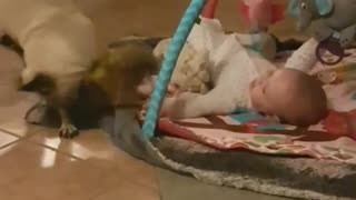 Competitive pug plays tug-of-war with baby