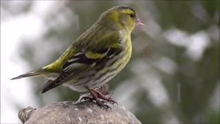 a beautiful songbird stands