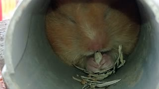 Watch how hamsters eat and store food