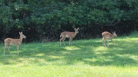 Deer Grazing Time Lapse