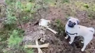 Little pug finds something scary in the woods