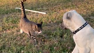 Cat introduces himself to Kangal puppy.