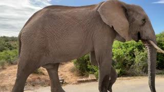 Walking alongside a magnificent elephant
