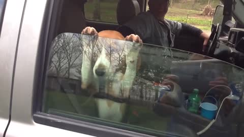 13 animals who love car rides
