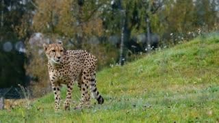Cheetah Leopard feline carnivore animal FULL HD New 2021