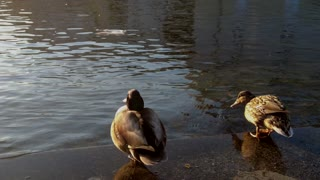 Very Sweet Duck Jumps into the Water in Berlin