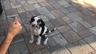 Great Dane puppy's first experience with chicken