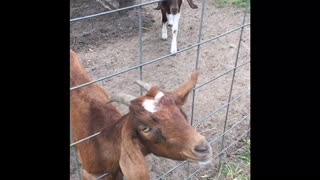 MUST WATCH: THE CUTEST GOATS EVER!!