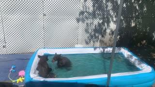 Bears Stop by for a Backyard Swim