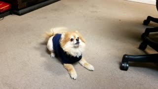 Training dog.