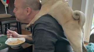 Pug Cleans Dad's Bald Head