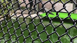 Panaewa Zoo alligator