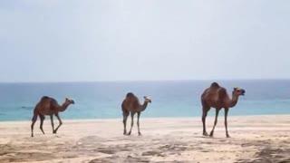 Camels beach Walk Baby !!!