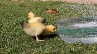 ducklings, cute animal pets