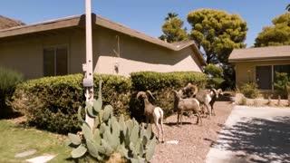 Bighorn Sheep Front Yard 1