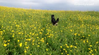 Black dog jumps in a field of yellow flowers