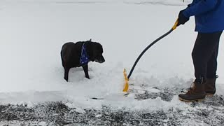 """Chocolate Lab """"helps"""" owner shovel the driveway"""