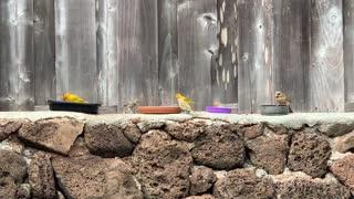 # Back Yard Birds Hawaii