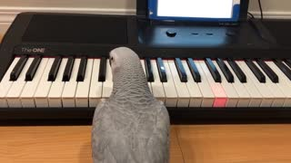 Parrot plays 'Twinkle Twinkle' on her piano