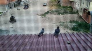 Pigeons in love.