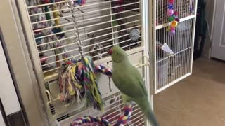 Parakeets Brothers in conversation between friends very beautiful .