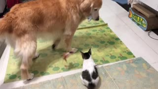 Gentle Golden Retriever knows exactly how to entertain this kitten