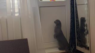 Window-Seeking Cat Surprised by Tin Foil