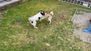 Husky dog play fight with best friend