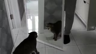 Cat is scared of his reflection in the mirror