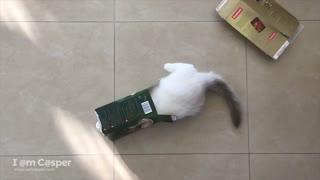 Ragdoll kitten adorably jumps through empty box