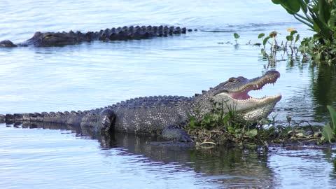 Large alligators in a lake