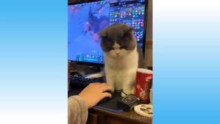 Cats playing funny game