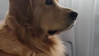 Golden Retriever impressed with TV show, can't stop watching