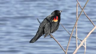 red-winged blackbird perches