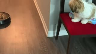 Robot vacuum has this puppy totally captivated