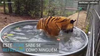 Tigre devora melancia dentro de piscina