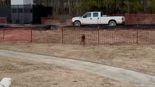 Bulldog runs full speed into a fence trying to chase a squirrel