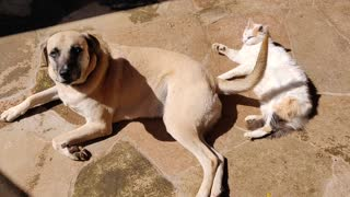 Cat loves getting hit by dog's wagging tail