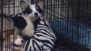 Corgi Doesn't Want Siblings Playing in Her Bed