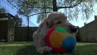Cocker Spaniel shows off his cool ball skills