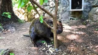 Beaver cuts a tree