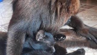 Howler Monkey Cuddles and Grooms Feline Friend